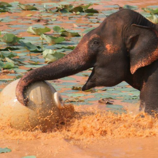A baby elephant having fun playing with a large tough ball zoo animal toy.