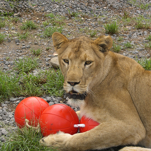 Lion playing with a custom 3 ball on a rope enrichment toy for zoo animals