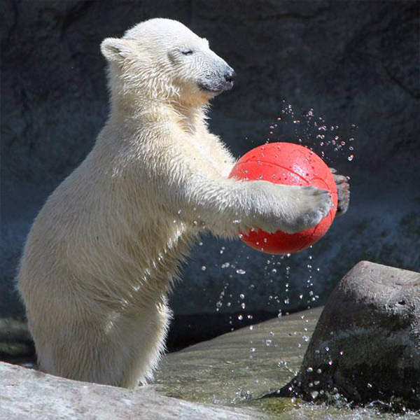 A polar bear playing with a large red zoo animal toy ball