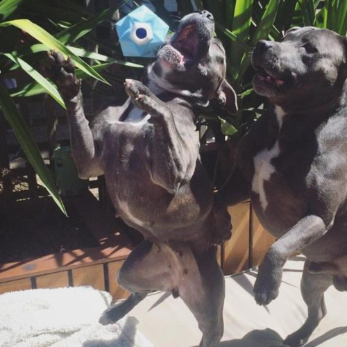 Two staffies playing with blue monster treat ball