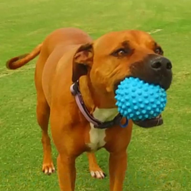 staffy chewing blue catch-ball