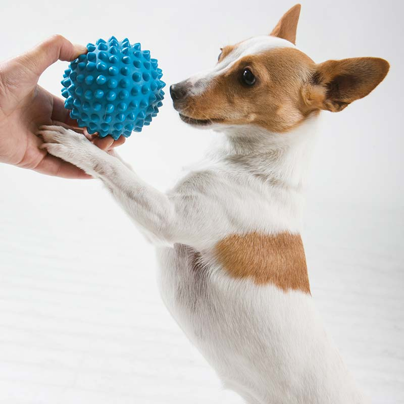 Small dog playing with blue Catch Ball