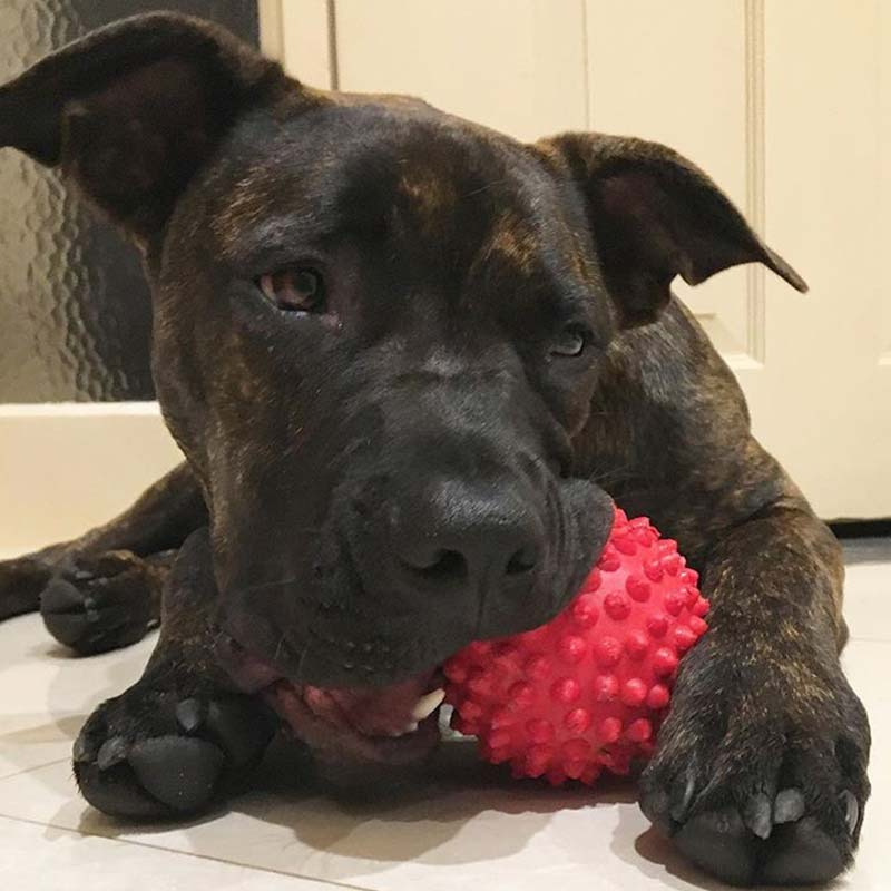 Staffy chewing red Catch ball