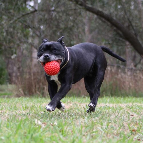 Staffy with red Catch Ball in the mouth