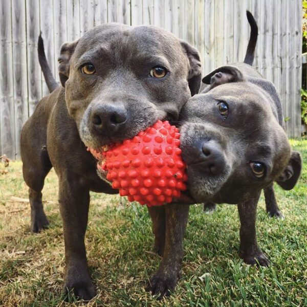 Two staffies chewing large red catch-ball
