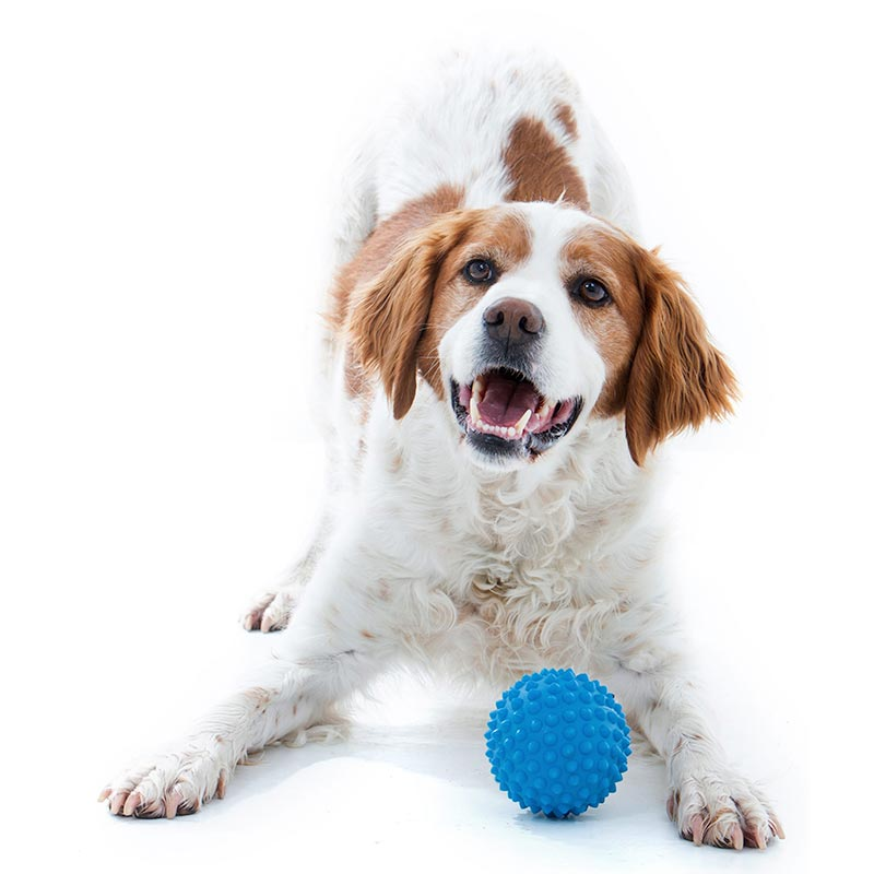 Dog playing with blue catch-ball