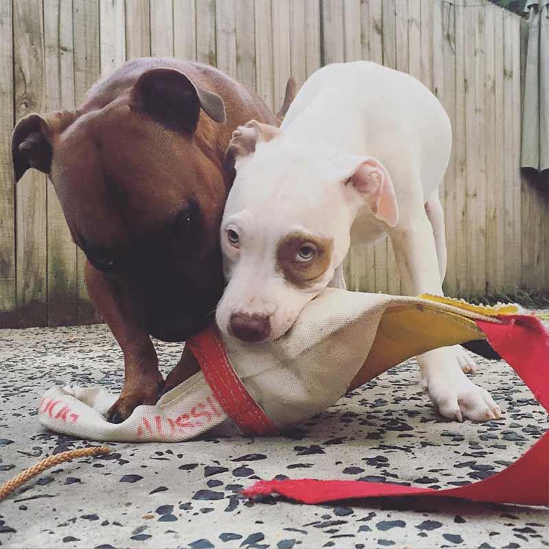 Staffy dog chewing chook standard dog toy