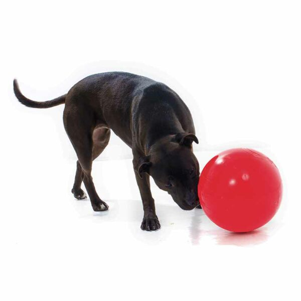 Staffy sniffing an extra large red Tucker ball for kibble