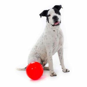 Dog sitting with an extra large red Tucker ball for kibble