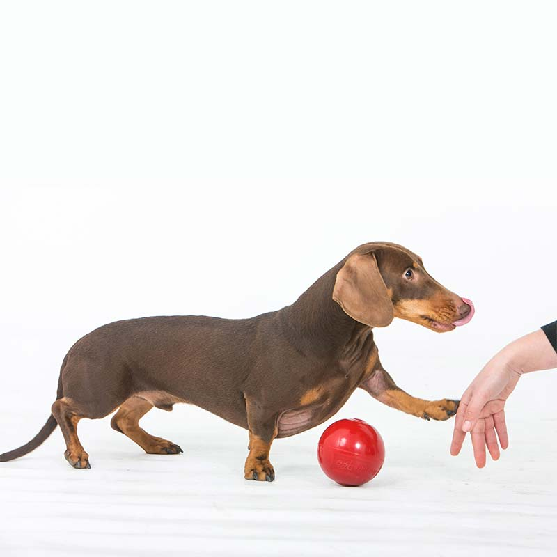 Small Dachshund playing with small Enduro Ball dog toy
