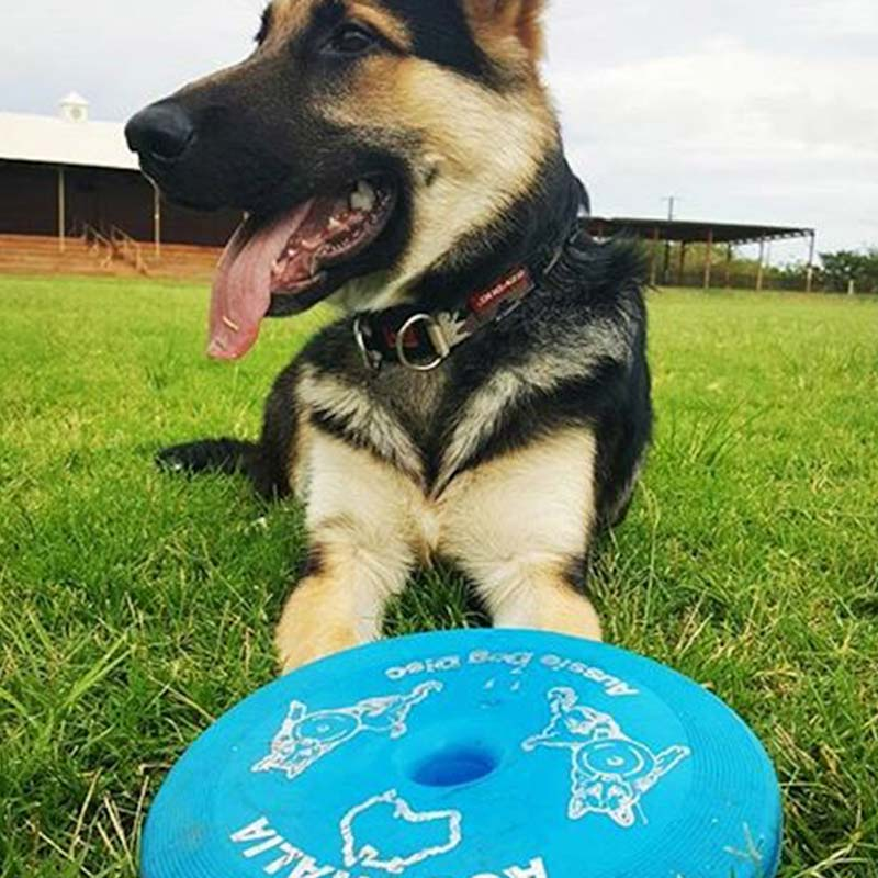 German Shepherd with a blue frisbee