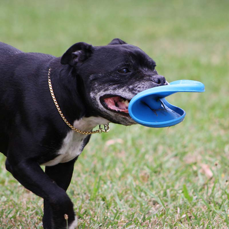 Staffy dog chewing on blue frisbee
