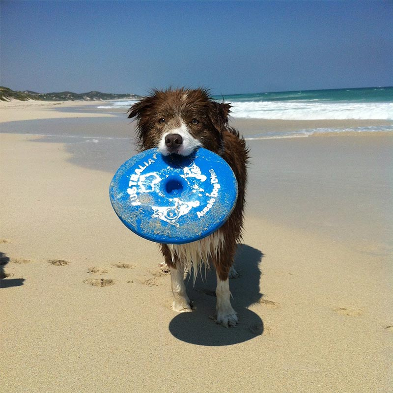 Collie with blue frisbee in its mouth