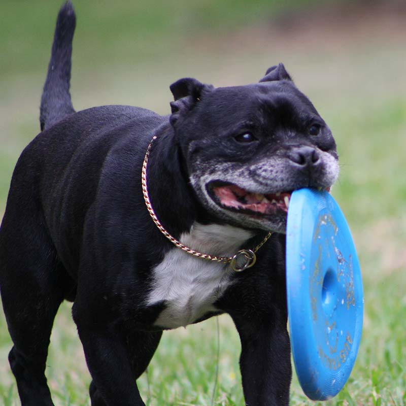 Staffy Dog retrieving a blue frisbee