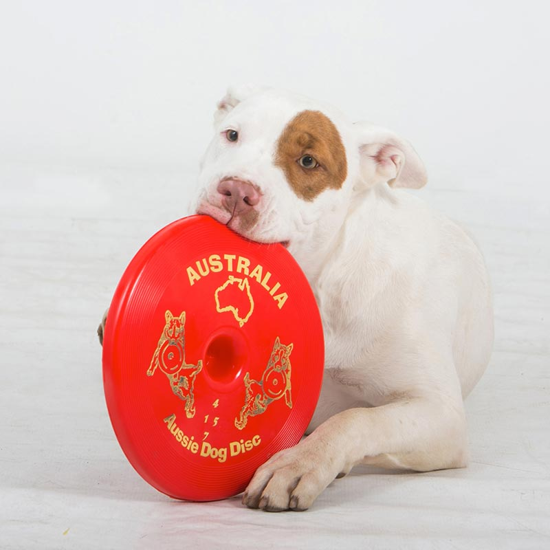 Dog chewing red frisbee