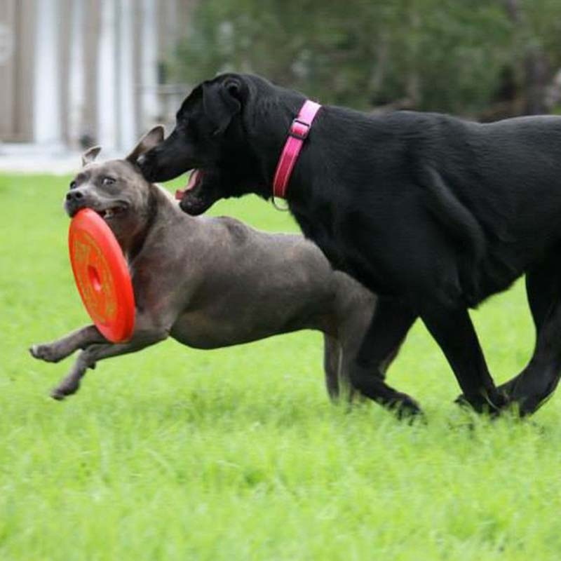 Two dogs chasing the a red frisbee