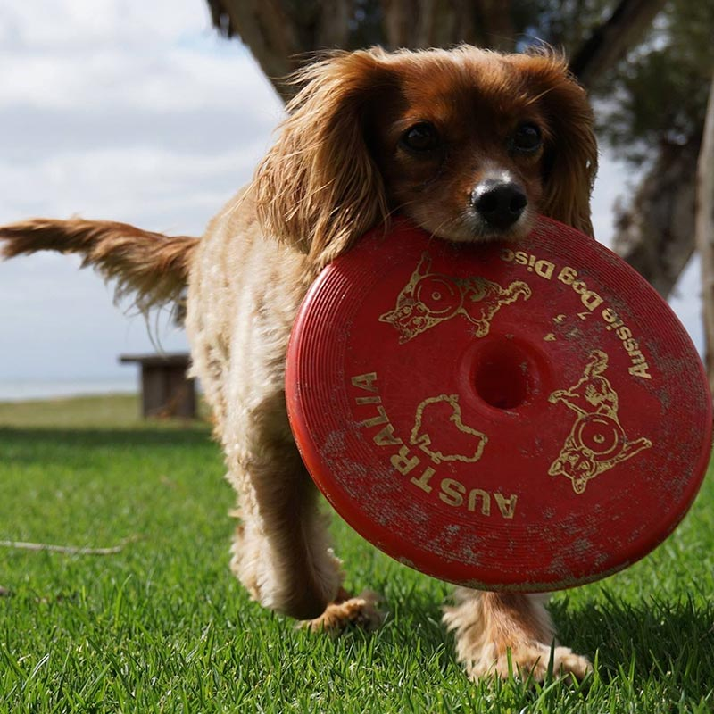 Small dog returning tough red frisbee