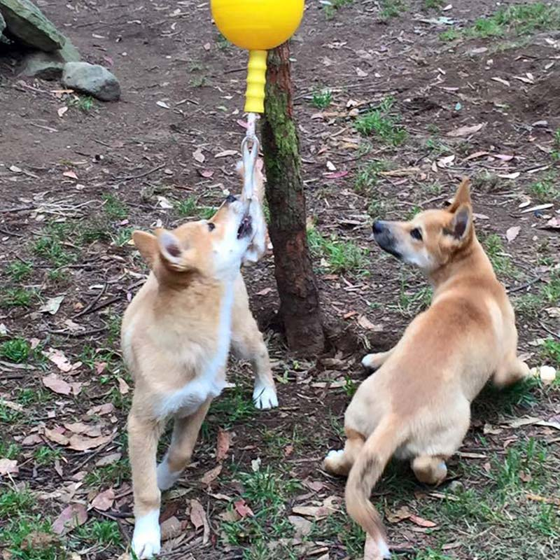 Two dingo pups chewing the Home Alone Large at a zoo