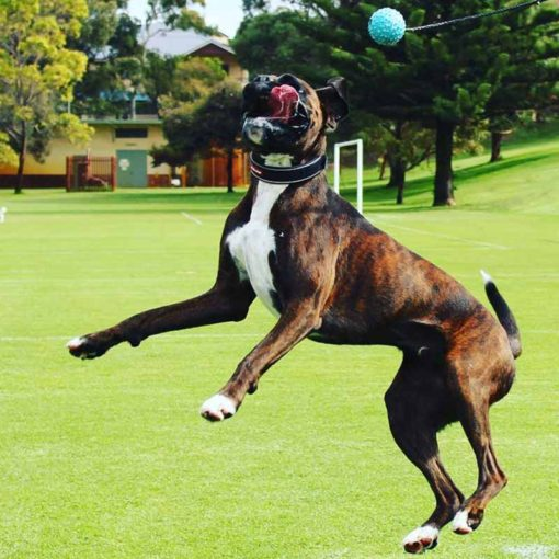 Dog jumping to catch a blue long ball dog toy