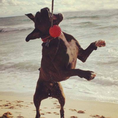Dog jumping up to red long ball
