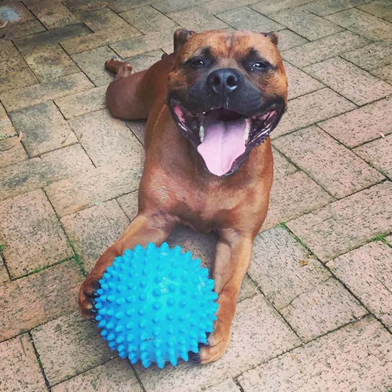 Staffy with a blue Mitch Ball