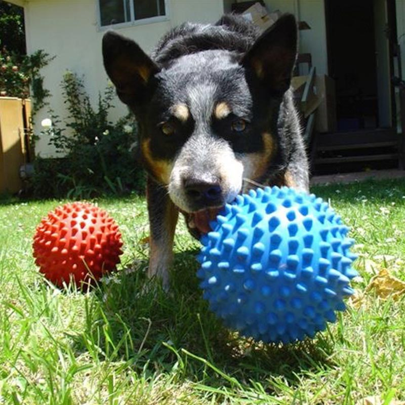 Kelpie X chewing large blue mitch-ball