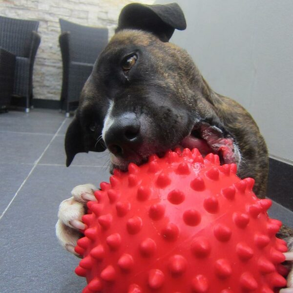 Staffy chewing large red mitch-ball