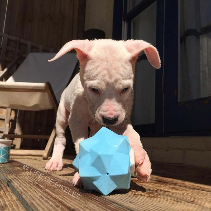 Puppy playing with blue Monster Ball