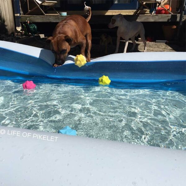 Dog playing with Monster Balls range near a pool