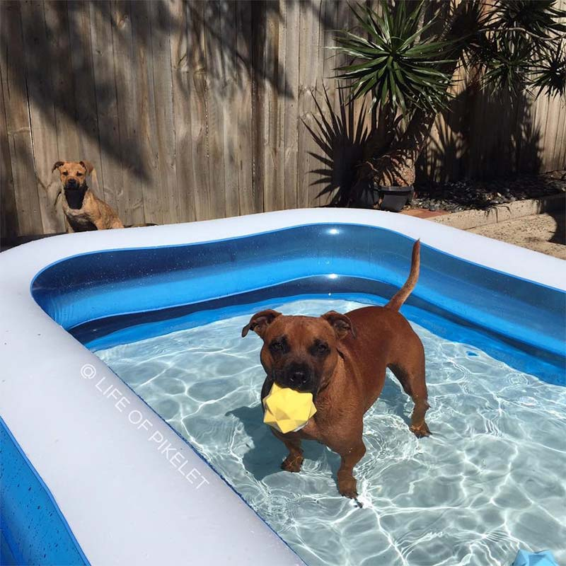 Dog in pool chewing yellow Monster Ball dog toy