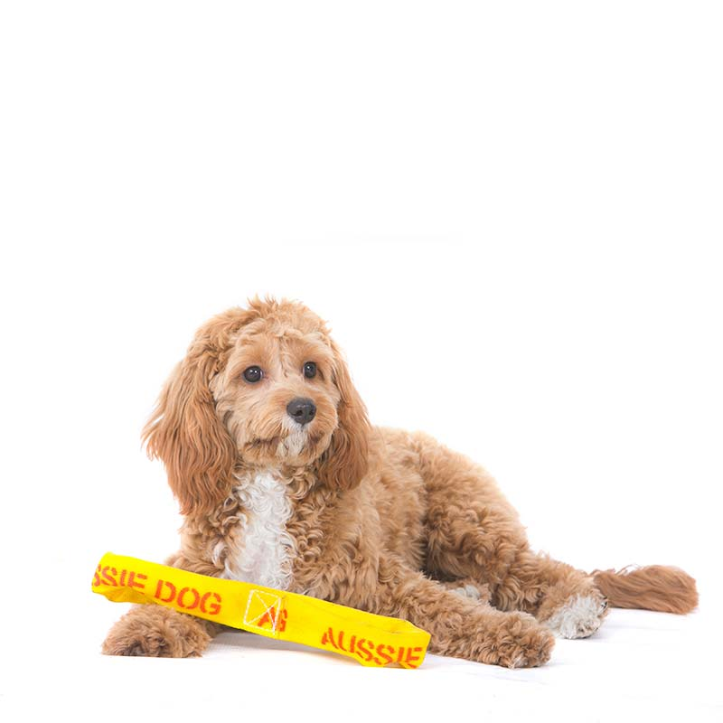 Small Cavoodle sitting with an interative dog toy