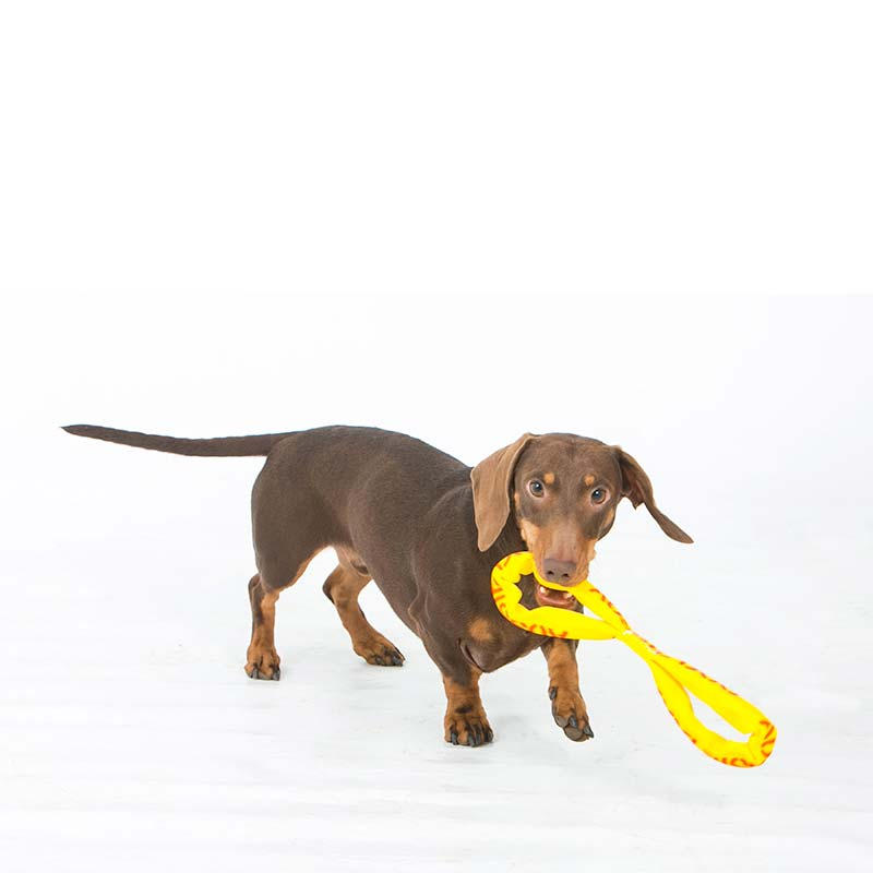 Daschund chewing on dog toy
