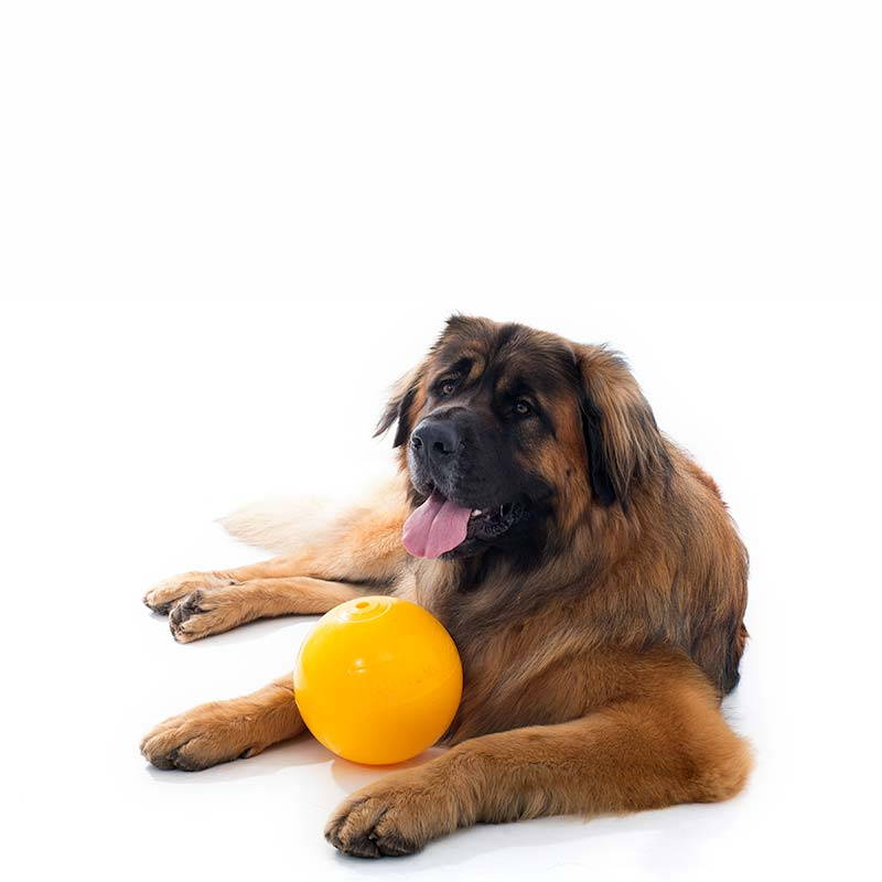 Large dog with yellow ball for puppies
