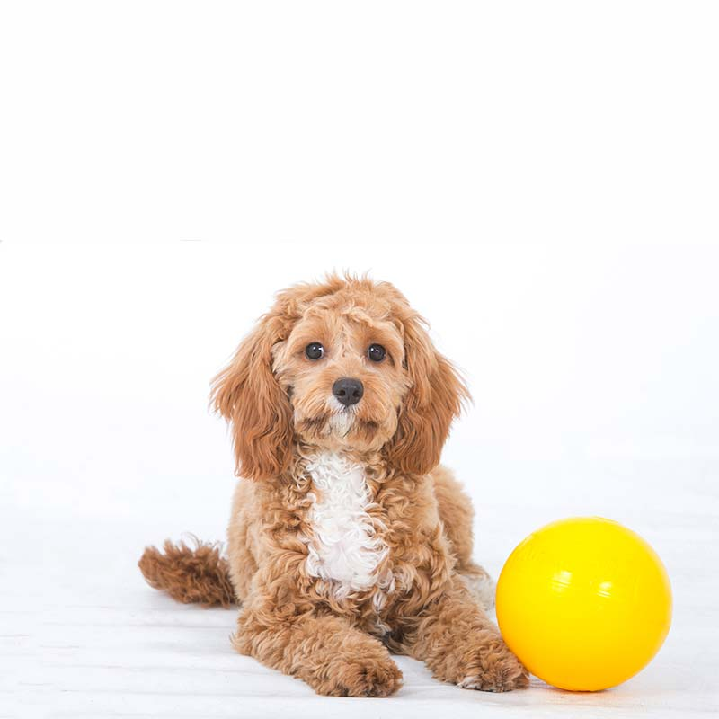 Small puppy with a yellow ball
