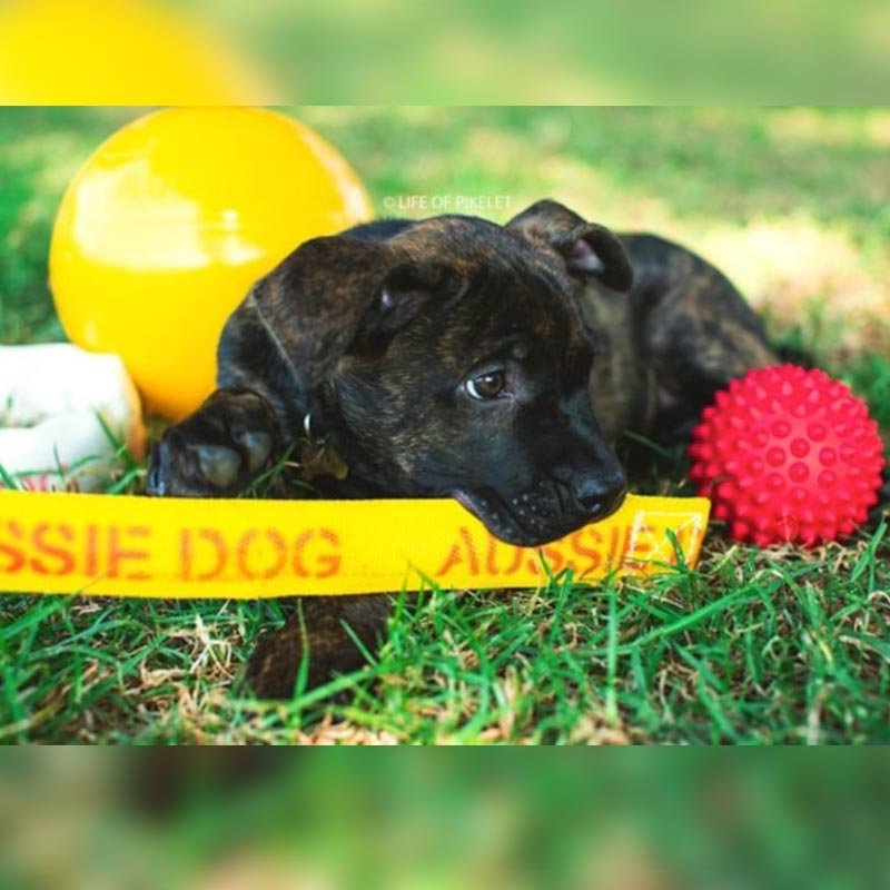 Puppy with yellow and red balls and toys for chewing