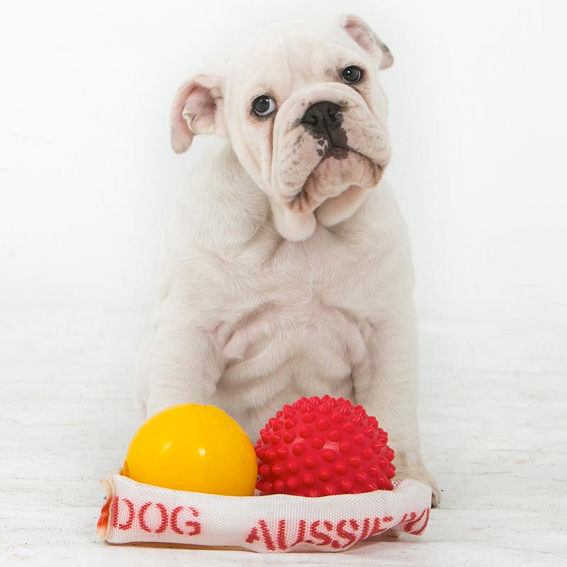 White bulldog with range of dog toys for puppies
