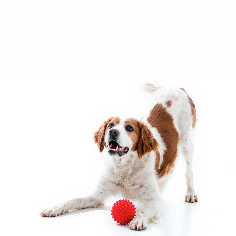 Dog playing with small red ball