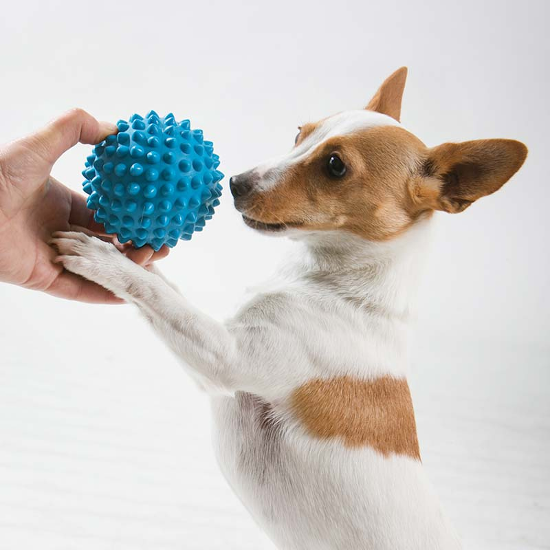 Small dog playing catch a small blue ball with its owner