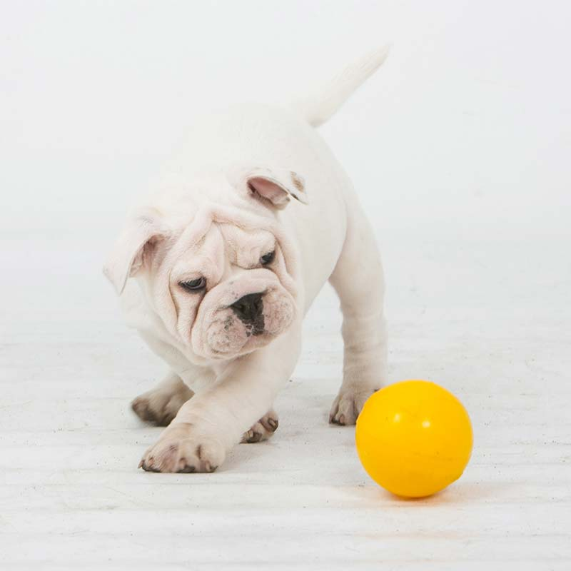 Puppy playing with small yellow ball
