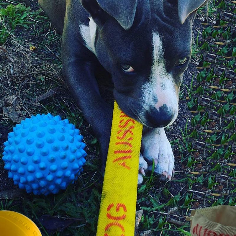 Staffy pup chewing on tough dog toy