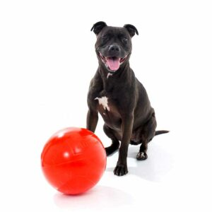 Staffy with red tough red staffy ball