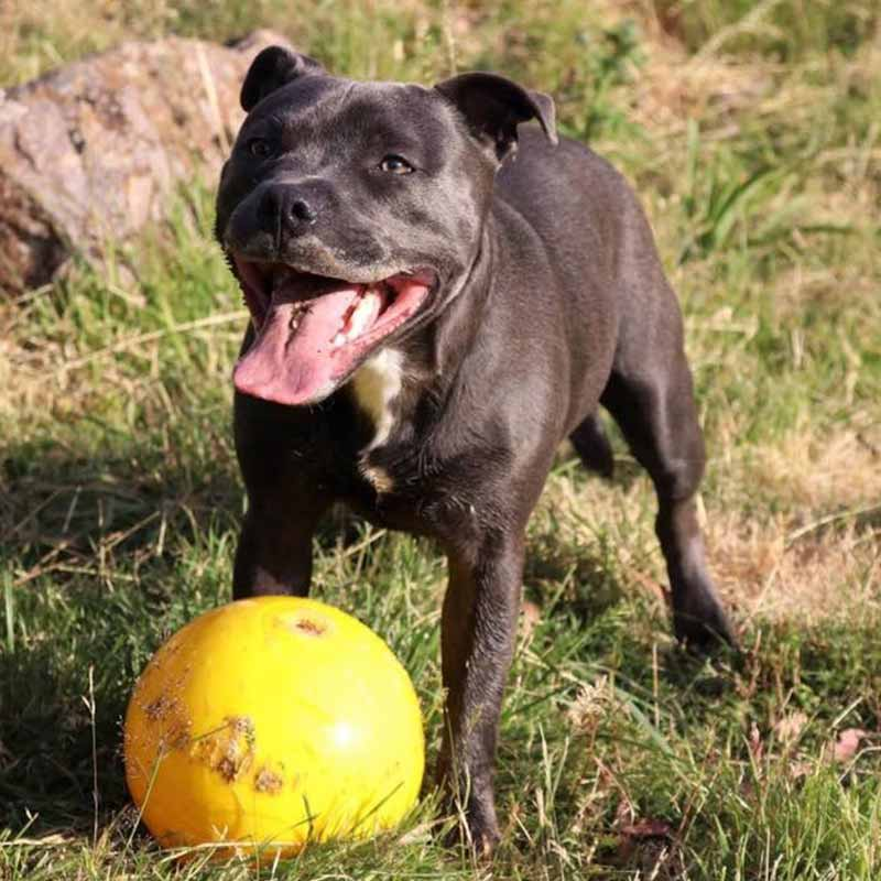 Staffy Dog playing with large yellow Tucker Ball