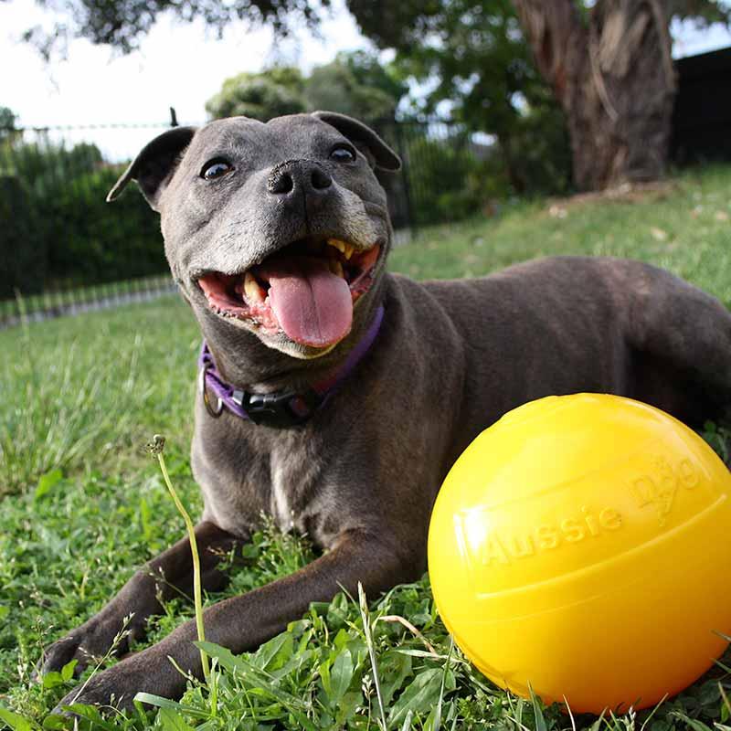 Staffy Dog playing with medium sized yellow tucker ball