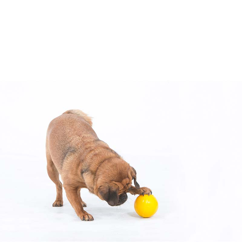 Pug playing with small Tucker Ball dog toy