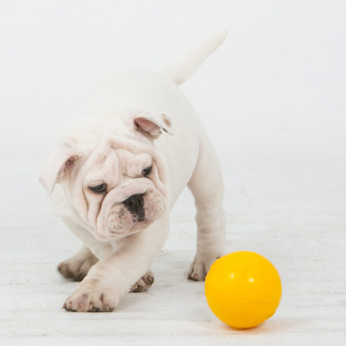 Puppy with mini yellow tucker ball