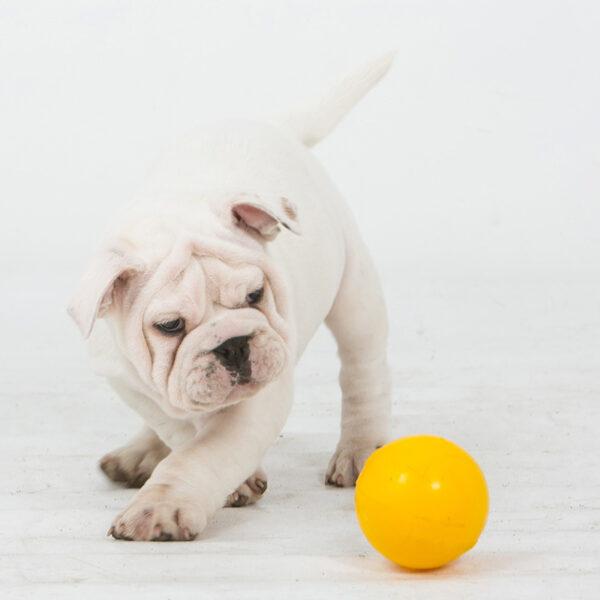 Puppy with mini yellow tucker ball
