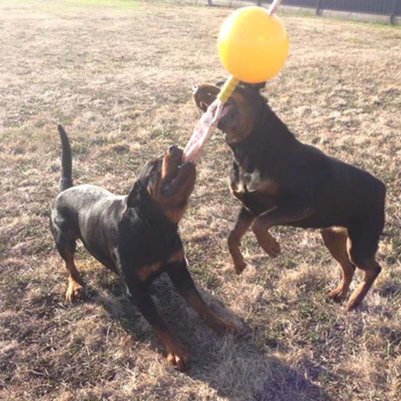 Two Rottweiler chewing on the Home Alone Extra Large Toy for large dogs