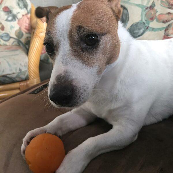 Small dog with Buddy Ball Small