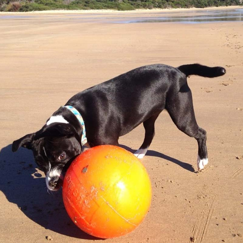 Staffy dog playing with staffy ball