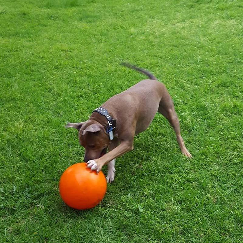 Staffy dog playing with tough staffy ball